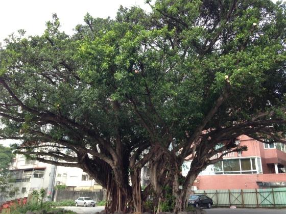 復興高中對面的大榕樹