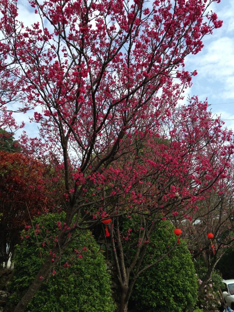 復興三路的櫻花大道